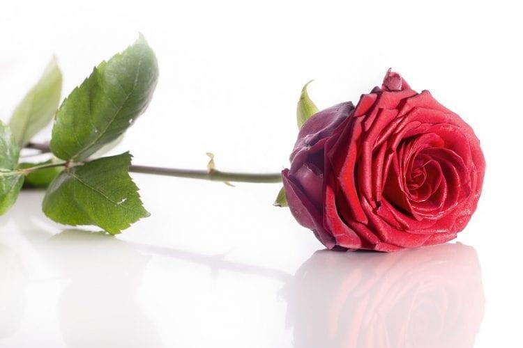 rose-1340803_960_720